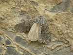 Acronicta euphorbiae (Wolfsmilch-Rindeneule) / CH FR Gros Mont 1365 m, 26. 06. 2014