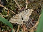 Hydria (Rheumaptera) undulata (Wellenspanner) / CH OW Glaubenberg Schwendi-Kaltbad 1440 m, 11. 07. 2013