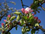 Malus domestica (Apfel) / Rosaceae