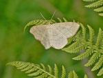 Scopula ternata (Heidelbeer-Kleinspanner) / CH UR Brunnital Lauroi 1264 m, 15. 07. 2013
