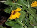 Calendula (Ringelblume) / Asteraceae