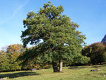 Qzercus robur (Stieleiche) / Fagaceae