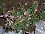 Ononis spinosa (Dornige Hauhechel) / Fabaceae
