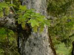 Acer pseudoplantanus (Bergahorn) / Aceraceae
