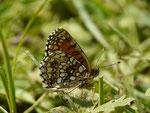 Melitaea diamina (Silber- oder Baldrian-Scheckenfalter) / CH VD Lac Lioson 1855 m, 15. 08. 2016