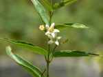 Vincetoxicum hirundinaria (Schwalbenwurz) / APOCYNACEAE