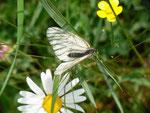 Aporia crataegi (Baumweissling, lockendes Weibchen) / CH BE Hasliberg 1150 m, 14. 06. 2014