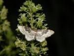 Idaea rusticata (Südlicher Zwergspanner) / CH BE Hasliberg 1050 m, 16. 07. 2014
