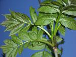 Fraxinus excelsior (Eberesche) / Oleaceae