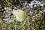 Colias phicomone (Alpen-Gelbling) / CH VS Lac Mauvoisin 1900 m, 18. 07. 2006
