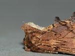 Ptilodon capucina (Kamel-Zahnspinner) / CH BE Hasliberg 1050 m, 23. 06. 2013