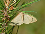 Hylaea fasciaria prasinaria (Zweibindiger Nadelwaldspanner) / CH BE Hasliberg 1050 m, 27. 07. 2013