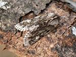Brachionycha nubeculosa (Frühlings-Rauhhaareule) / CH BE Hasliberg 1050 m, 15. 03. 2016