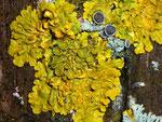 Xanthoria parietina / Parmeliaceae
