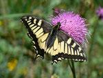 Papilio machaon (Schwalbenschwanz) / CH BE Hasliberg 1150 m, 28. 05. 2011