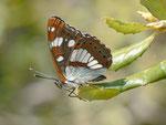 Limenitis reducta (Blauschwarzer Eisvogel) / E Region Girona-Figueres, Embalse de Boadella 200 m, 10. 05. 2012