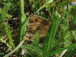 Maniola jurtina (Grosses Ochsenauge, Weibchen bei der Eiablage) / CH BE Hasliberg 1050 m, 02. 08. 2013