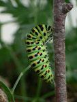 Papilio machaon (Schwalbenschwanz, Vorpuppe) / CH BE Hasliberg 1150 m, 13. 07. 2015