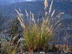 Calamagrostis varia / POACEAE