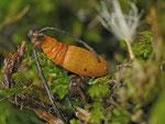 Eupithecia expallidata (Fuch's-Kreuzkraut-Blütenspanner) / CH OW Lungern Tschorren 1270 m, 01. 11. 2013