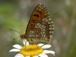 Melitaea deione / E Andalusien, Granada - Lanjarón - Pampaneira, Sierre Nevada Nat. Park, Alpujarra 1200 m, 26. 04. 2012