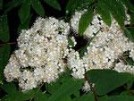 Sorbus aucuparia (Eberesche) / Rosaceae