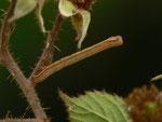Ematurga atomaria (Heidespanner) / CH OW Lungern Tschorren 1280 m, 10. 08. 2014 (an Rubus fruticosus, Brombeere)