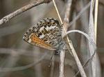 Cyclyrius webbianus Männchen) / Spanien Kan. Inseln, Gran Canaria, San Nicolas, Montaña del Viso 750 m, 03. 01. 2013