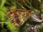 Brenthis ino (Violetter Silberfalter) / CH UR Meiental, Gitzichrummenflue 1613 m, 13. 07. 2017