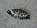 Perizoma affinitata (Dunkler Lichtnelken-Kapselspanner, Zuchtfalter) / CH OW Lungern, Galgenflüe 1280 m, 30. 05. 2021
