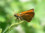 Thymelicus sylvestris (Braunkolbiger Braundickkopffalter) / CH FR Grandvillard Alp Bounavaux 1305 m, 18. 05. 2012