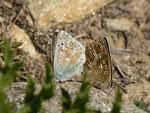 Polyommatus coridon (Silbergrüner Bläuling, Paarung) / CH VS Saas Almagell, Moosgufer, Wyssi Flüe 2181 m, 21. 08. 2013