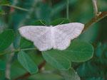 Scopula subpunctaria (Schneeweisser Kleinspanner) / CH BE Hasliberg 1240 m, 17. 07. 2014