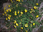 Lotus corniculatus (Fabaceae)