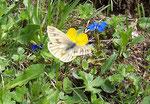 Pieris bryoniae (Bergweissling) / CH GR oberhalb Rona 1500 m, 04. 06. 2005