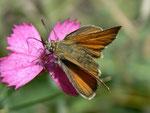 Thymelicus lineola (Schwarzkolbiger Braundickkopffalter, Weibchen) / CH VS Saastal, Saas Almgell, Moosgufer, alter Militärweg, 1910 m, 12. 08. 2011