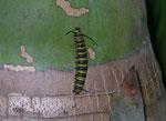 Danaus plexippus (Monarch, Raupe) / CH FR Papiliorama Kerzers, 11. 05. 2009