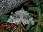 Coenotephria tophaceata (Grosser Felsen-Bindenspanner) / CH BE Hasliberg 1050 m, 22. 05. 2012