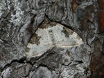 Xanthorhoe fluctuata (Garten-Blattspanner) / CH VS Saastal, Saas Almagell, Moosgufer 1800 m, 12. 08. 2011