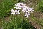 Cardamine pratensis (Wiesenschaumkraut) / Brassicaceae
