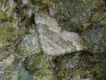 Scotopteryx bipunctaria (Zweipunkt-Wellenstriemenspanner) CH VS Val d'Anniviers, St-Luc Chalet Blanc 2210 m, 28. 07. 2016