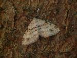 Perizoma didymata (Bergwald-Kräuterspanner) / CH VS Bellwald 1673 m, 16. 08. 2018