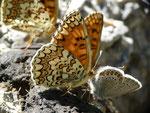 Melitaea phoebe (Flockenblumen-Scheckenfalter) /  CH VS Binntal Chelliwald 1844 m, 17. 08. 2016