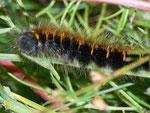 Macrothylacia rubi (Brombeerspinner) / CH VS Zermatt Sunnegga, 25. 08. 2010