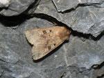 Diarsia mendica (Primel-Erdeule) / CH FR Grandvillard, Alp Bounavaux, Les Baudes 1306 m, 18. 07. 2012