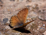 Cyclyrius webbianus (Weibchen) / Spanien Kan. Inseln Tenerife Esperanzawald 1400 m, 30. 05. 2009