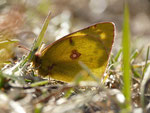 Colias alfacariensis (Hufeisenklee-Gelbling) / CH VS Leuk Thelwald 1400 m, 23. 10. 2016