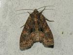 Mniotype satura (Dunkelbraune Waldrandeule) / CH BE Hasliberg 1050 m, 06. 10. 2012