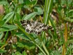 Epirrhoe tristata (Fleckleib-Labkrautspanner) / CH FR Vallée des Morteys 1513 m, 05. 07. 2013