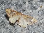 Eulithis populata (Veränderlicher Haarbüschelspanner) / CH VS Gletsch 1757 m, 02. 09. 2016